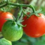 Quinoa Baked Tomatoes