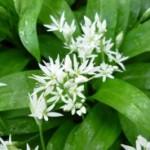 Spring Greens Pesto Recipes by Rachel Dare
