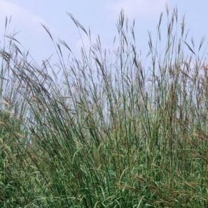 Spring grasses give off pollen
