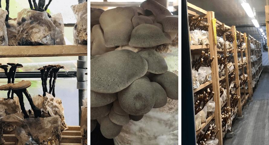 Cultivated mushrooms on the farm of Hifas da Terra in Spain