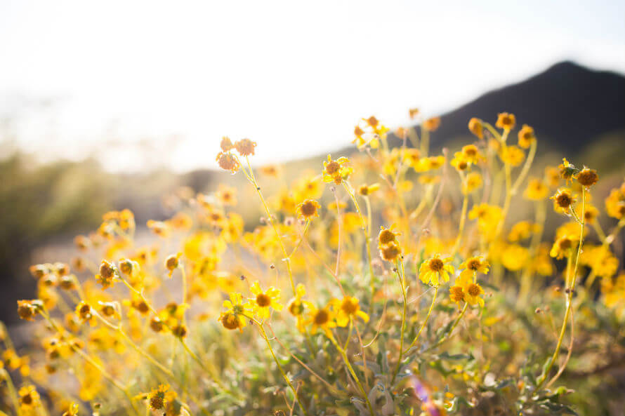 A field of yellow flowers with sunlight in the background